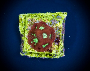 "Ultra Aussie Favites sp. ""Red Fluo Green Mouth"" DCW nr 3"