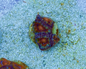 "Ultra Aussie Acanthastrea lordhowensis Premium ""Multicolor Rainbow"" Frag DCW nr 1"