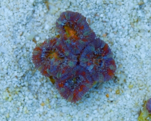 "Ultra Aussie Acanthastrea lordhowensis Premium ""Multicolor Rainbow"" Frag DCW nr 3"
