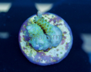 "SeaFarm Acropora - ""Flash Green Batunai"" - DCW  2"