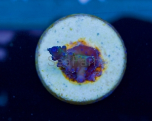 "Ultra Aussie Acropora - ""True Blueberry Austera"" - DCW nr 14"